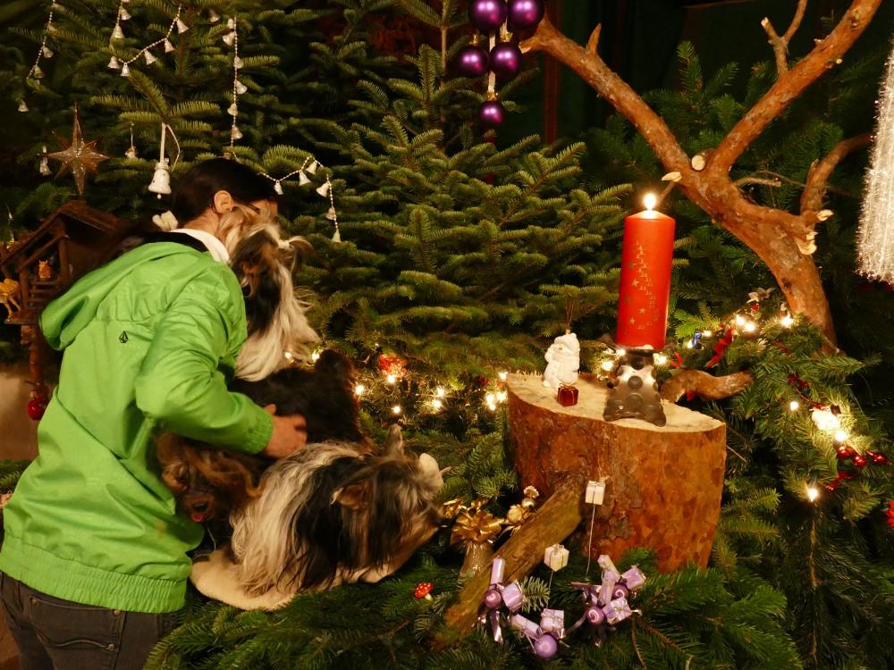 Weihnachtsbaum Aufbauen.Dez 2018 Snoopys Pleasure Island Yorkshire Terrier